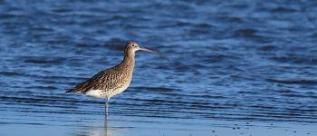Observation des oiseaux migrateurs Lancieux