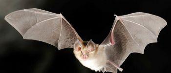 Vie nocturne des chauves-souris dans le Grand Traouïéro Perros-Guirec