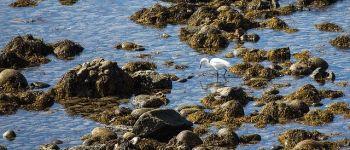 Annulé - Sortie nature - Oiseaux des landes à la pointe du Nick Saint-Lunaire