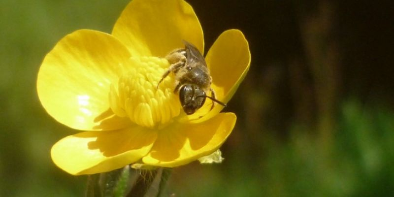 Sortie nature : au secours des abeilles sauvages