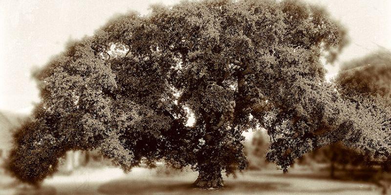 L'arbre roi